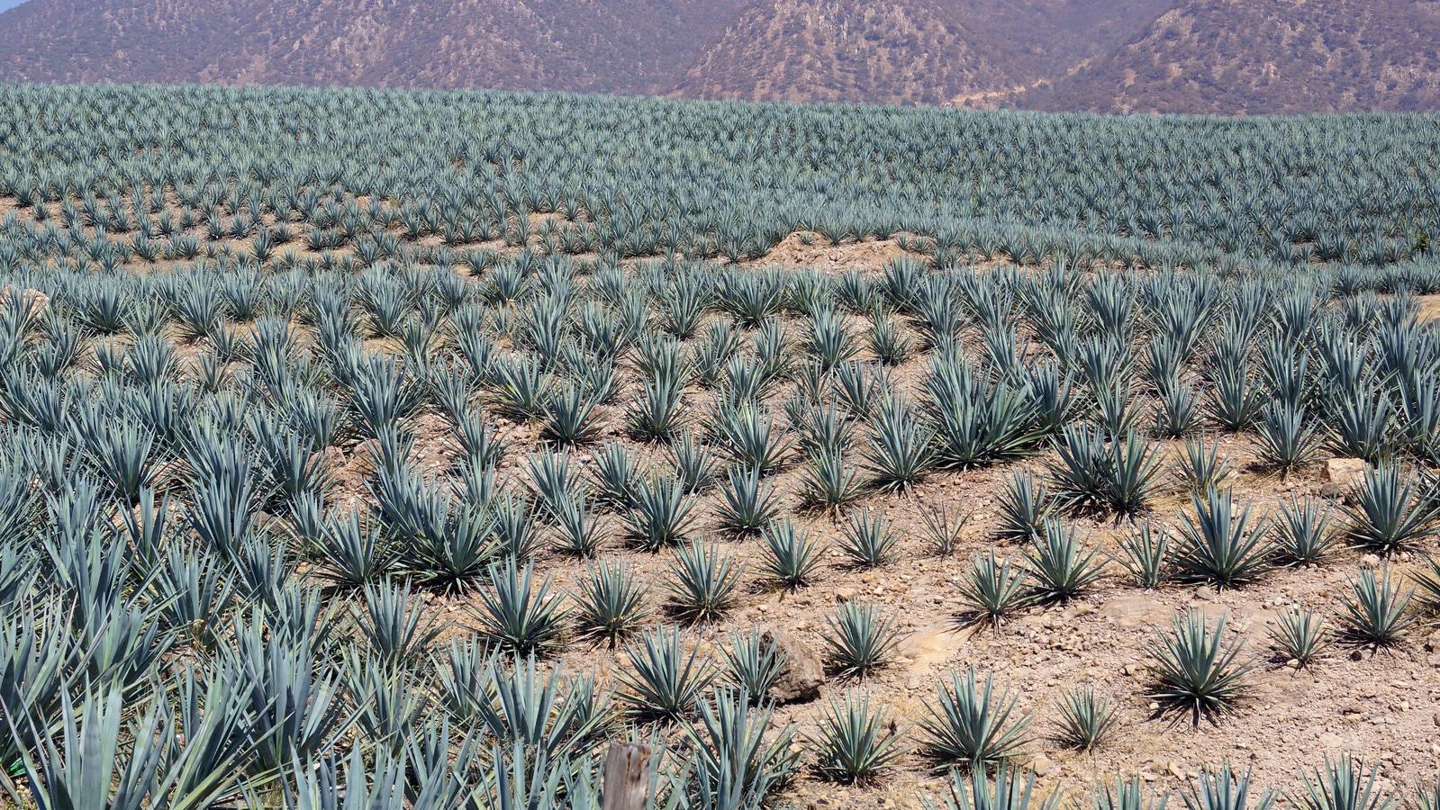 Un champ d'agave bleue à Jalisco